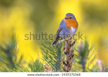Red robin (Erithacus rubecula) bird foraging in an ecological garden on bright background. This bird is a regular companion during gardening pursuits. Wildlife in nature. Netherlands. Zdjęcia stock ©