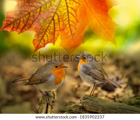 Red Robin (Erithacus rubecula) birds close up in a forest Zdjęcia stock ©