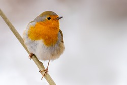 Red robin (Erithacus rubecula) on perch in winter