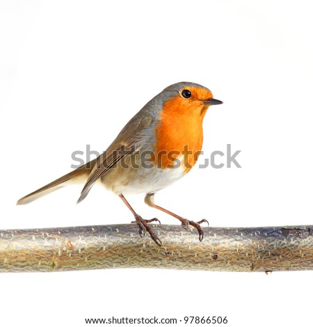 red robin on a branch, against a white background
