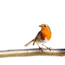 Red robin on a branch, on white