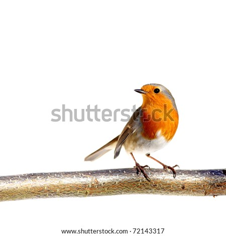 Red robin on a branch, on white - stock photo