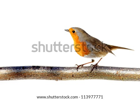 red robin on a branch, standing sideways