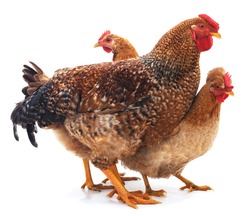 Red rooster and hens isolated on a white background.