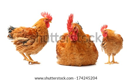 Red rooster on white background