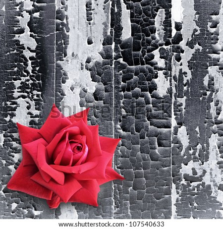 Red rose a old black paint on a wooden wall, vertical boards