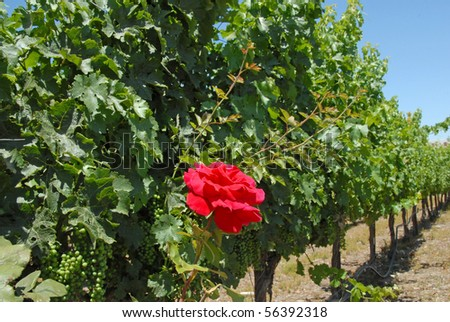 Red Rose Among Young Grapes