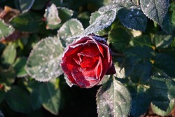 Red Rose And Frost In The Garden.