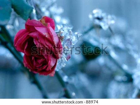 Red rose and frozen leafs in cold winter tones