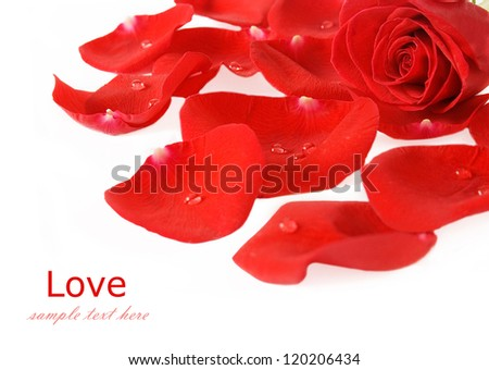 Red rose and rose petal with water drops isolated on white with sample text