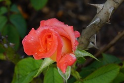 red rose and thorns
