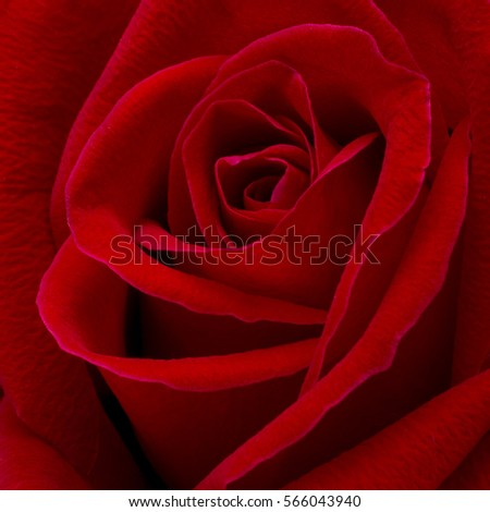 red rose background,close up shot,valentine day concept. #566043940