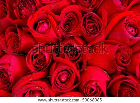 red rose flower background. stock photo : red rose