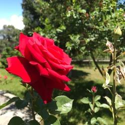 red rose, Beautiful redRose flower
