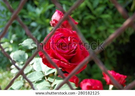 Red rose behind the metal wire fence