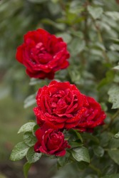 Red Rose Blooming in a Garden
