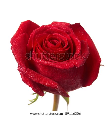 Red rose bud macro isolated on white background