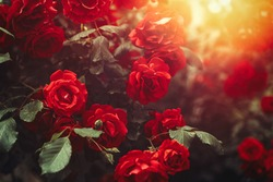 Red Rose Bush Growing In Garden with Sunny Light. Postcard Banner Background