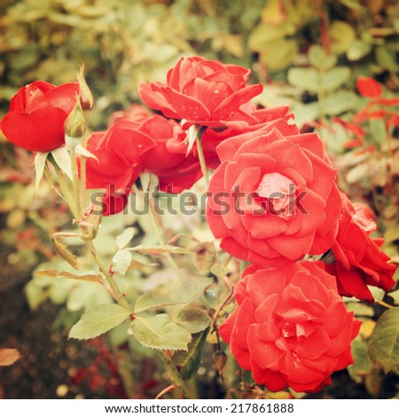 Red Rose bush - vintage effect. Blooming roses bunched together - retro filter. Red rose background. Flowers.