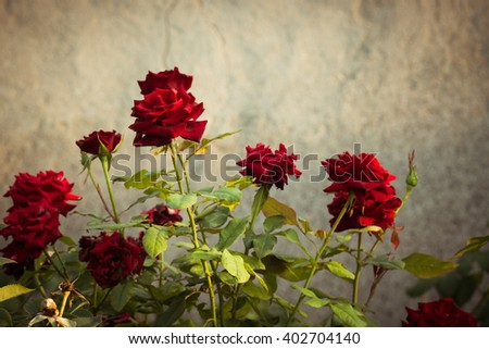 Red rose bushes next to the wall of an old abandoned house #402704140