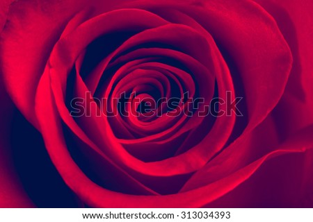 Red rose close-up. Vintage style image