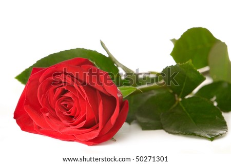 Red rose closeup isolated silhouette on white background