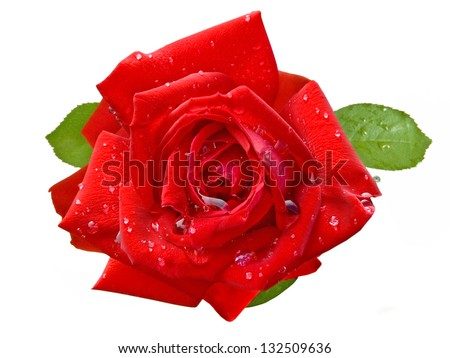 Red rose closeup with water drops isolated on white background