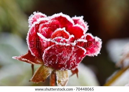Red rose covered with frost