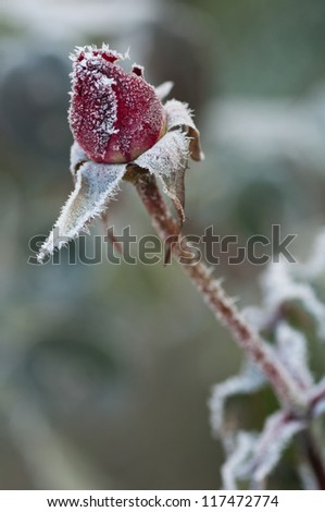 Red rose covered with morning frost