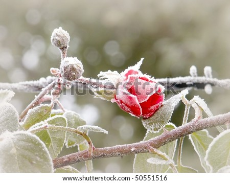 Red rose covered with morning frost. Photo taken in October.