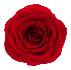 Red rose. Deep focus. No dust. No pollen. Amazing red rose isolated on white background.