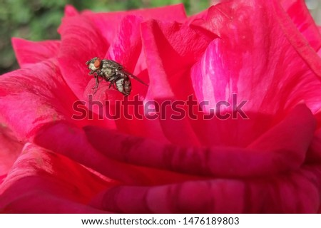 Red rose, flower. A fly sits on a petal. Flower structure. South, heat, sun, day. Macro photography