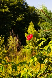 Red rose flower at the edge of the forest