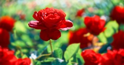 Red rose flower. Background.