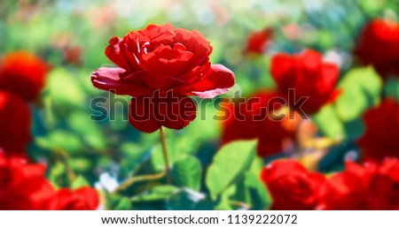 Red rose flower. Background. #1139222072