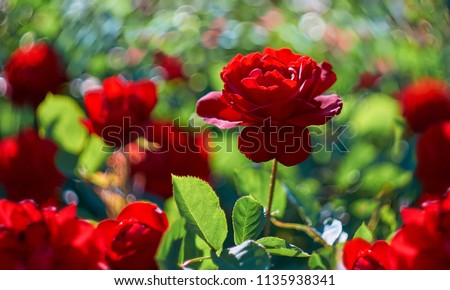 Red rose flower blooming in roses garden on background red roses flowers. #1135938341