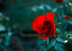 Red rose flower close up on natural blurred green background with copy space, rosebud, greeting card, valentine's day