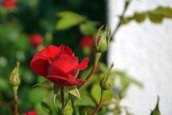 Red rose flower closeup in garden
