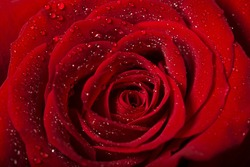 red rose flower detail with droplets, macro shot for mother's day greeting card or book cover design