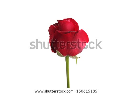 red rose flower isolated in white background