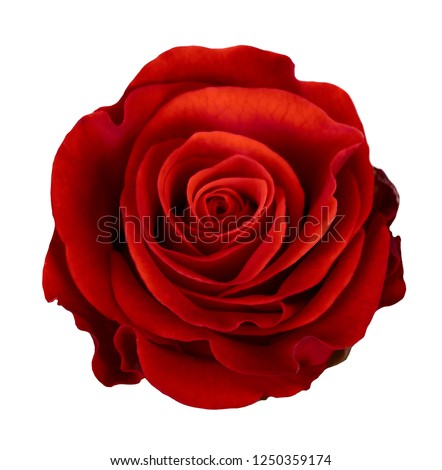 Red rose flower isolated on white background #1250359174