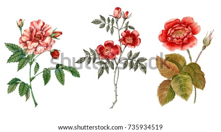 Red rose flower. Isolated on white background. Botanical illustration. watercolor