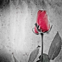 red rose flower on black and white paper texture