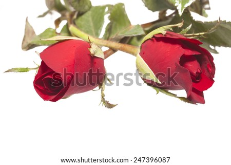 Red Rose Flower  on isolate