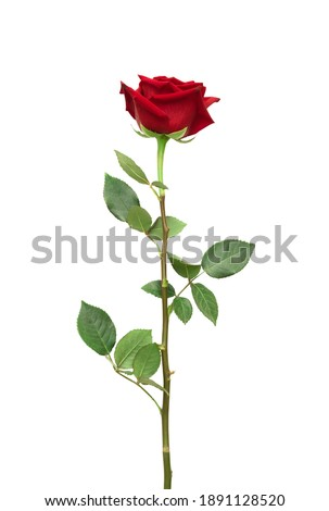 Red rose flower with clipping path, side view. Beautiful single red rose flower on stem with leaves isolated on white background. Naturе object for design to Valentines Day, mothers day, anniversary ストックフォト ©