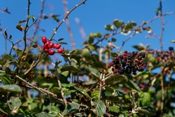 Red rose hips and blackberries in a hedgerow Dorset
