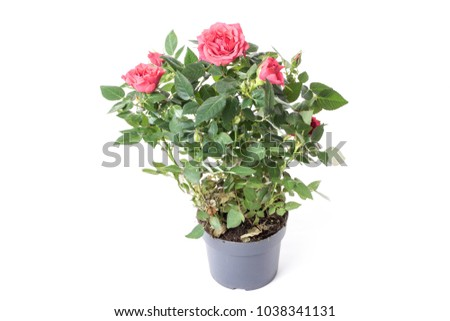 red rose in a plastic pot, isolate on a white background #1038341131