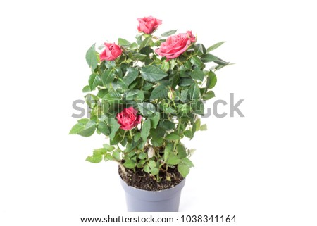 red rose in a plastic pot, isolate on a white background #1038341164