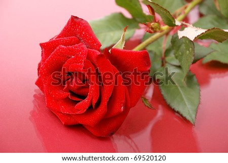 Red rose in drops of water on red background.
