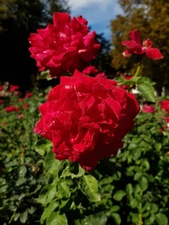 Red rose in park at Pleven